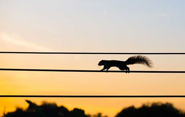 Power Outages | Squirrel on Electric Line